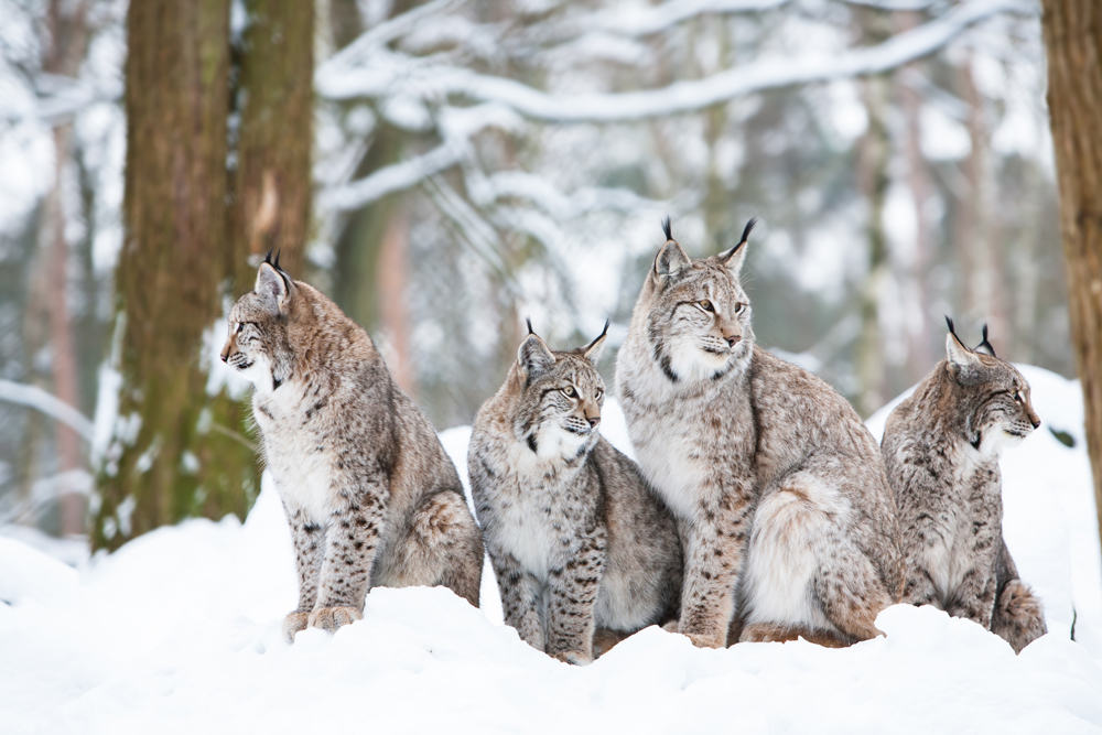 Lynx Family in Winter